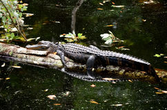 American Alligator Sun Bathing on Log. American Alligator sun bathing on a long that has fallen in the dark waters of the canal.  Reflection of alligator can be Stock Images
