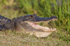 American Alligator. Sunbathing in Brazos Bend State Park, Texas Stock Image