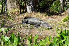 American Alligator sunbathing in Florida Swamp - Everglades National park - USA. GReat sport to discover wildlife royalty free stock photo