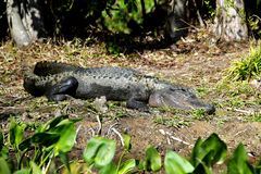 American Alligator sunbathing in Florida Swamp - Everglades National park - USA. Travelling in the United States stock photos