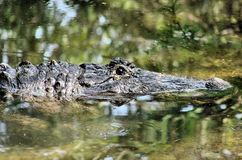American alligator in swamp. A closeup of an American alligator's head as it swims silently through the swamp Royalty Free Stock Photos
