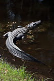 American Alligator in swamp water on Hilton Head Island South Carolina. A large female American alligator is partially submerged in murky water on a sunny day on Stock Images