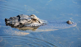 American alligator swimming. Closeup of an alligator swimming in the wild Stock Photo