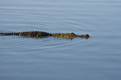 American Alligator swimming. An American Alligator swimming across the pond Stock Photo