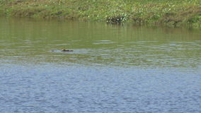 American alligator swimming across Florida pond, 4K stock footage