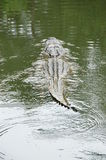 American Alligator swimming stock images