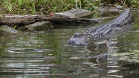 American Alligator Swimming Into A Dark Pool Of Water. An American alligator swimming away from the bank and into a dark pool of water Stock Photo