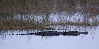 American alligator. An American alligator swimming at the Viera Wetlands stock photo