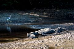 American Alligator. An American alligator taking a rest in the sun next to its natural habitat Stock Photo