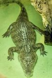 American alligator in terrarium in zoo. Shot from above stock photo