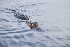 American alligator in tropical lake.  Royalty Free Stock Images