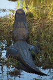 American alligator view from behind Stock Images