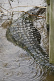 American Alligator. View of rear of American alligator showing pattern of scales and skin, brackish swamp, Port Aransas, south Texas, United States Stock Photo
