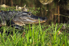American alligator walking to the water in the everglades of Flo Royalty Free Stock Photography