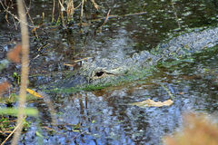 The American Alligator. This Alligator was observed in a small body of water on Black Island in Lovers Key State Park near Fort Myers Beach in Florida. The Stock Photography