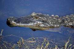 American Alligator in the Water. This is a picture of an American Alligator stalking prey in water Royalty Free Stock Image