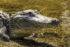 American Alligator. Alligator in the water of Darling Wildlife Refuge on Sanibel Island Florida Royalty Free Stock Photos