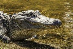 American Alligator. Alligator in the water of Darling Wildlife Refuge on Sanibel Island Florida royalty free stock photos