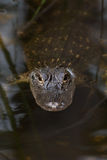 American alligator in The water Royalty Free Stock Image