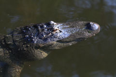 American Alligator  2. Wild American Alligator Wildlife of Florida Stock Image