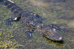 American Alligator  3. Wild American Alligator Wildlife of Florida Royalty Free Stock Photography