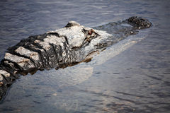 American Alligator  5. Wild American Alligator Wildlife of Florida Royalty Free Stock Image