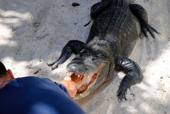 American alligator wrestling in the Everglades National Park Royalty Free Stock Image
