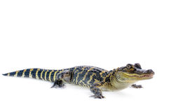 American Alligator. Young American Alligator on white background Stock Photo