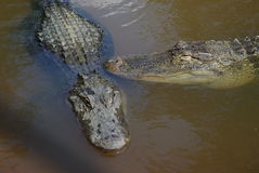American alligators. Closeup of two American alligators in murky water Royalty Free Stock Image