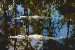 American Alligators Stock Image