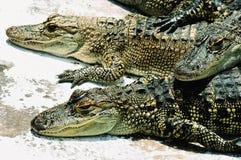 American alligators. Still young stock photos