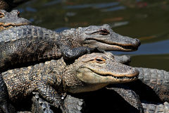 American Alligators Basking in The Sun Stock Images