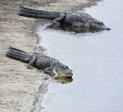 American Alligators Royalty Free Stock Images
