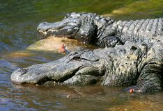 American Alligators of Florida. Two American Alligators getting sun bath in Florida royalty free stock photo
