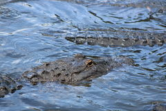 American Alligators. This gator was taken at Merrit Island, June 2015 Stock Photo