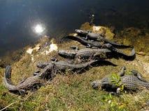 American Alligators Stock Photos