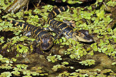American Alligators (juvenile) Stock Photo