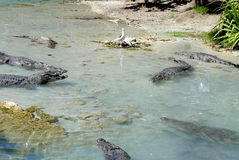 American alligators. Latin name alligator mississippiensis Royalty Free Stock Photography