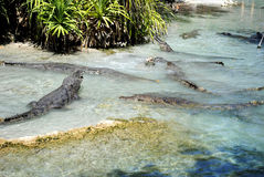 American alligators. Latin name alligator mississippiensis Royalty Free Stock Photos