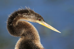 American Anhinga Closeup Stock Photography