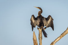 American Anhinga Drying its Wings Royalty Free Stock Image