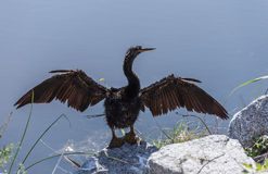 American Anhinga Drying Wings Stock Image
