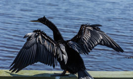 American Anhinga Drying Wings Royalty Free Stock Photography