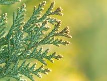 American Arborvitae, Stock Images