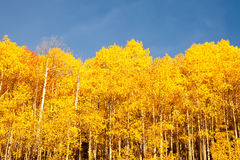 American Aspen Trees Royalty Free Stock Photography