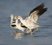 American Avocet Stock Photos