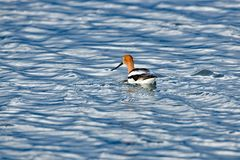An American Avocet. Floating lonely in mid-water Stock Photography