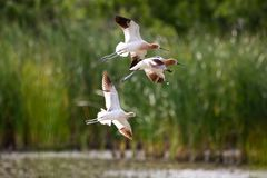 American Avocet. Flying over a lake in Rio Grande Valley, Texas Stock Photography