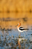 American Avocet Stock Photo