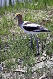 American Avocet bird. Side view of American avocet bird walking in grass royalty free stock photography